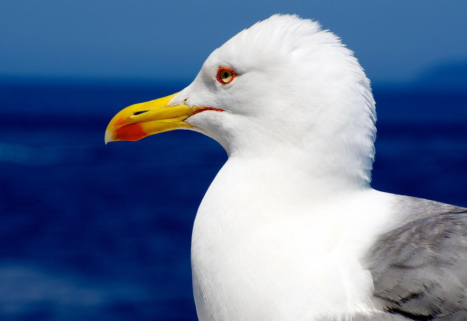 Kystperla.no seagull